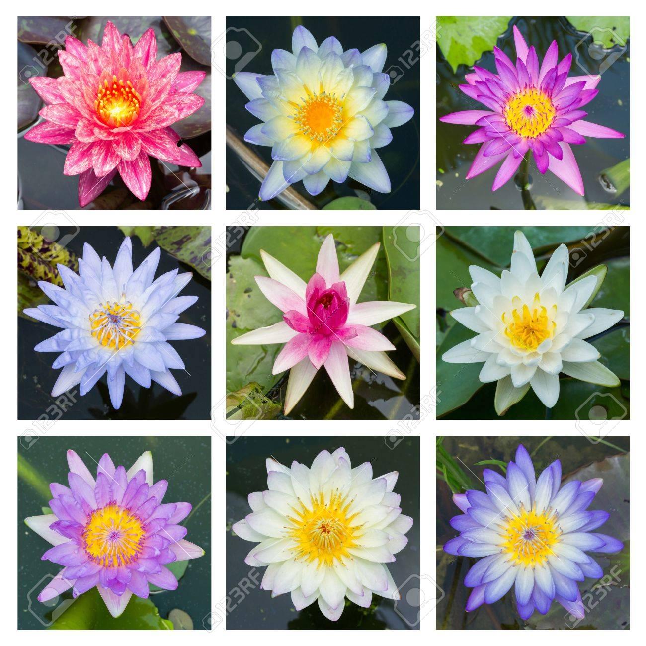 fleurslotus